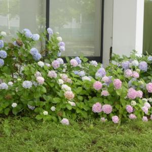 20.7.12 アジサイの花