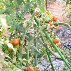 20,8,4 トマトが豊作です。
