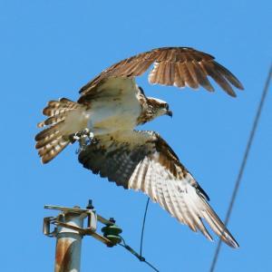 【野鳥】猛禽類ミサゴの写真