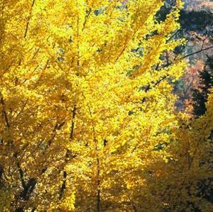 【風景写真】徳佐の冬鳥と紅葉
