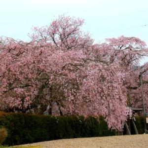 徳佐八幡宮の枝垂れ桜