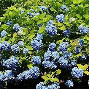 龍文寺の青いアジサイ