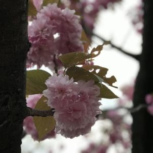 DAY1271 八重桜