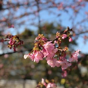 DAY1580 河津桜と水仙