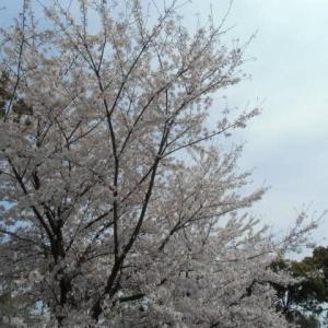 桜満開 however