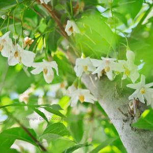 香り花 ~エゴノキ~