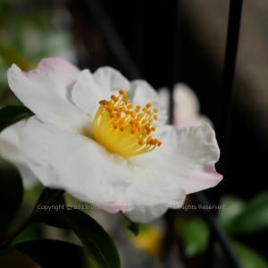 冬の花 ~サザンカ~