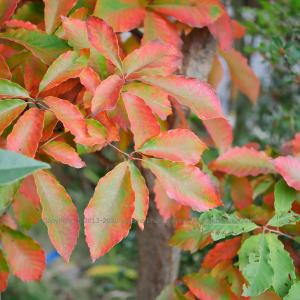 二色紅葉 ~コナラ~