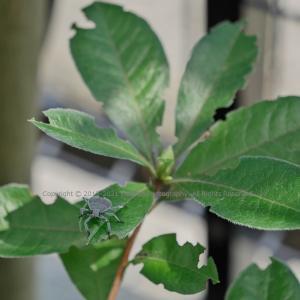 ニオイツツジの葉の上で ~キマダラカメムシ~