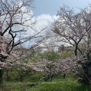 査定・・・そして桜満開
