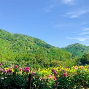 花満開のダリア園