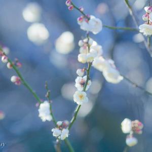 冬に凛と咲く