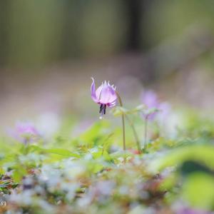 春の妖精カタクリ