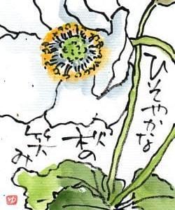 今日も秋明菊
