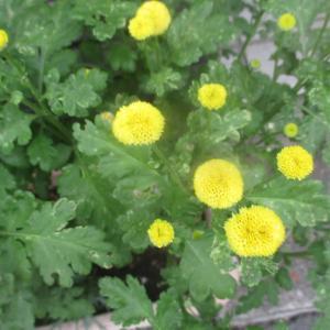花ホタル&ローズゼラニウム&タリクトラムディラバイ