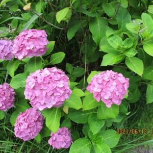 紫陽花ロードの6月