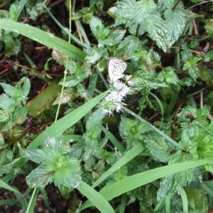 ヤマトシジミ蝶の雨宿り