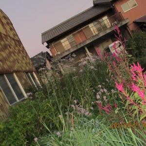世界を見つめる花:ダルマ紫苑