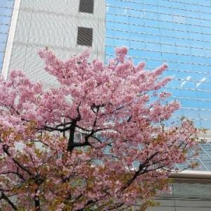 今年初の桜🌸