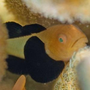 セブで人気の海水魚の紹介  ---- Gobies ---- ハゼの仲間 その3