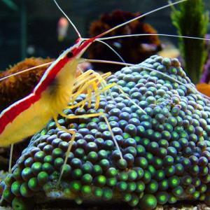 セブで人気の海水魚の紹介  ---- Shrimps ---- エビの仲間 その4