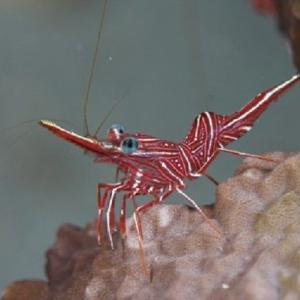 セブで人気の海水魚の紹介  ---- Shrimps ---- エビの仲間 その1