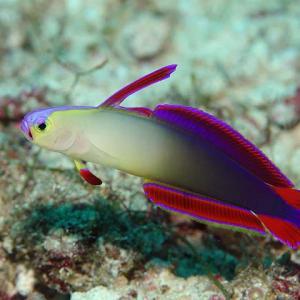 セブで人気の海水魚の紹介  ---- Gobies ---- ハゼの仲間 その2