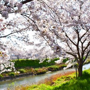 桜をお届け。