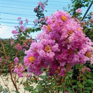 サルスベリの花が綺麗に咲きました