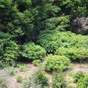 ツツジ畑に椎の木が邪魔