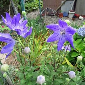 梅雨の時期に咲く花ショウブ