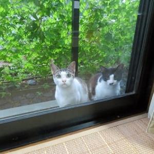 隣の猫だが、何時も我が家に