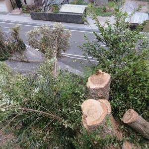 旧母屋横の椎の木伐採