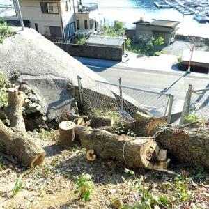 伐採した椎ノ木を薪サイズに切断