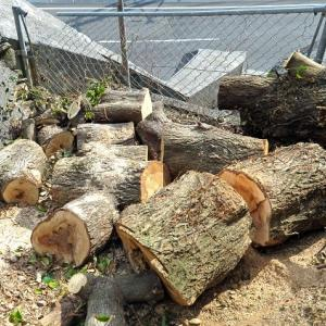 伐採後の椎ノ木の切断