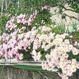 今年は菊が咲くのが遅いか?