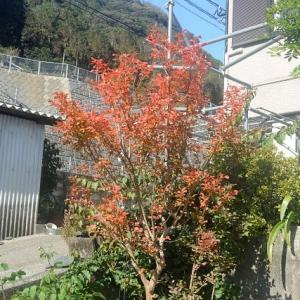 庭のサルスベリが紅葉色に