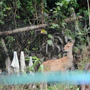 家の廻りに住んでいる小鹿