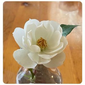 バラが咲いた♪♪とハキリバチ退治
