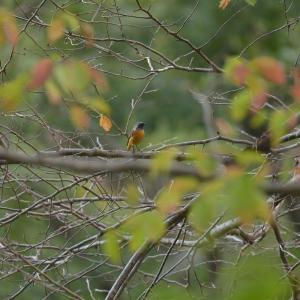 色付きはじめた葉っぱとジョウビタキ