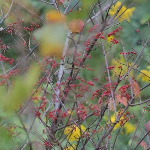 識別の難しい秋の渡りのムシクイ類