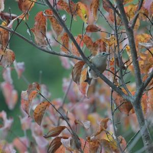 秋景色のキクイタダキ