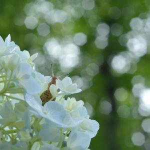 カタツムリと紫陽花