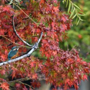 秋のカワセミ