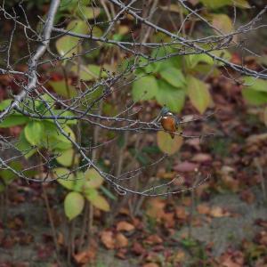 秋色カワセミ