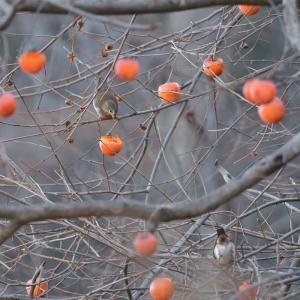 柿と赤い実とシロハラ