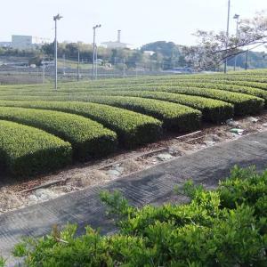 写真でつづる「第14回掛川・新茶マラソン」1