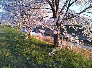 満開桜に誘われて散歩しました。
