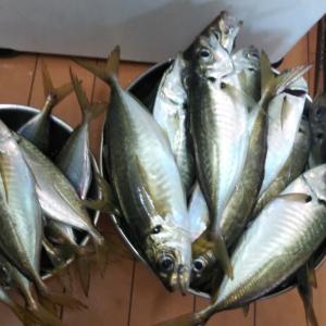2020/9/21(月)豆アジ3割なLTアジ釣行