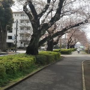 桜並木が無くなっていく・・・